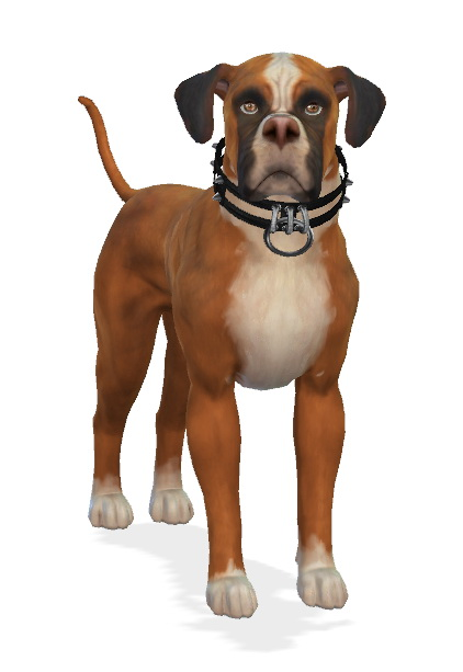 Enchanting Essence: Kona the Boxer Dog